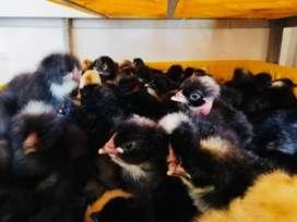 Vendo Pollos Bebes Ecologicos(Mejorados)