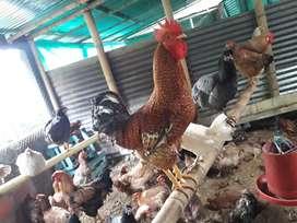 Se venden gallinas criollas y polloscriollos