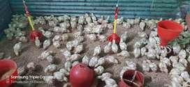 Pollos recría de engorde..