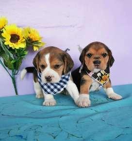 Hermoso Beagles Y Otras Razas