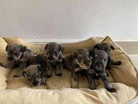 Cachorros Schnauzer 1 mes