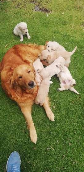 Cachorros razo Golden