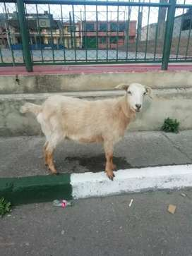 Se vende linda cabra joven