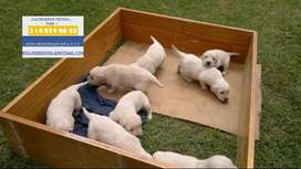VENTA CACHORROS GOLDEN RETRIEVER ORO SOLIDO