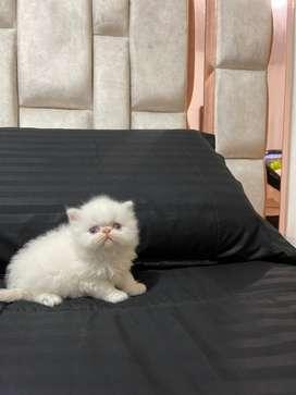 Gatico persa extremo de 2 meses  excelente estado.  De salud