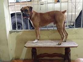 Mi Perro Boxer Americano Busca Novia