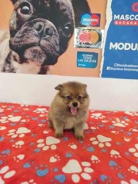 Lindos y gorditos Pomeranias mini