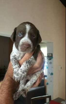 Se vende hermosos cachorros braco aleman