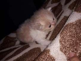 Se vende hermoso gato persa extremo