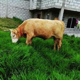 Vendo hermosa vacona semental preñadez por confirmar