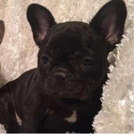 Bulldog frrances negros listo para entregar, 51 dias.