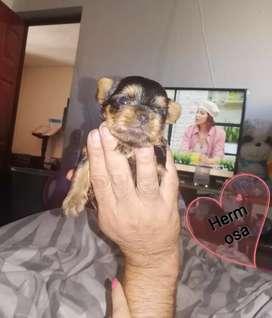 Linda Yorkshire Terrier nimiatura