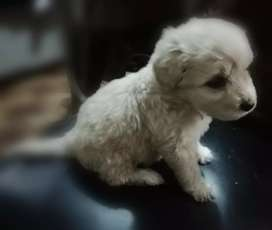 French poodle cachorro
