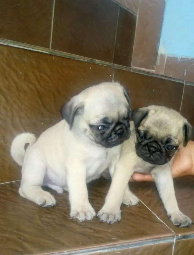 Vendo cachorros de traza Pug originales 0