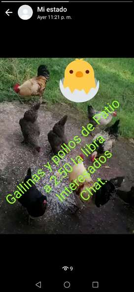 Gallina de patio