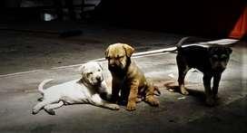 Vendo cachorros sharpei