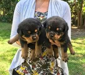 Excelentes perritos cachorros puros  Rottweiler