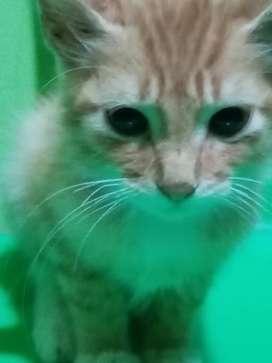 Gatito naranja de 3 meses en busca de hogar