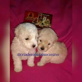 CACHORRITOS DE FRENCH POODLE MINI TOY