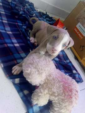 Pit bull de ojos Azules