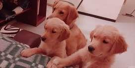 Cachorros Golden Retriver Puros