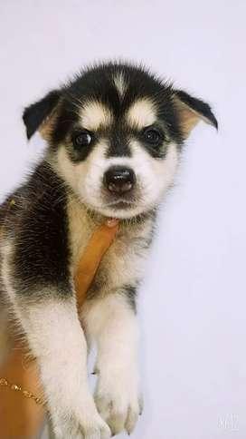 Hermosa cachorra huzki hembra vacunada y desparacitada 45 días de nacida