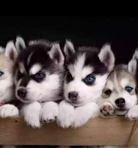 Ojos azules huskys