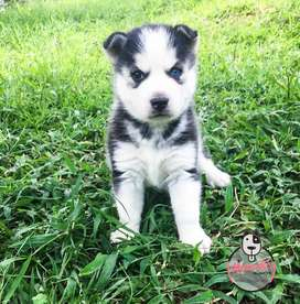 Espectacular Lobo husky siberiano Disponible