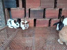 Conejos hermosas barato para vender rapido