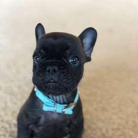 cachorros vacunados y desparasitados, caninos bulldog frances de 48 dias