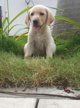 Cachorro confiable de raza labrador