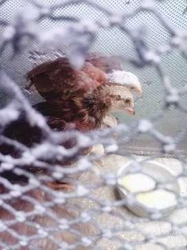 Ventas de pollos de linea
