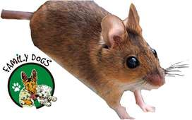 ratones mexicanos, raton mascota, raton
