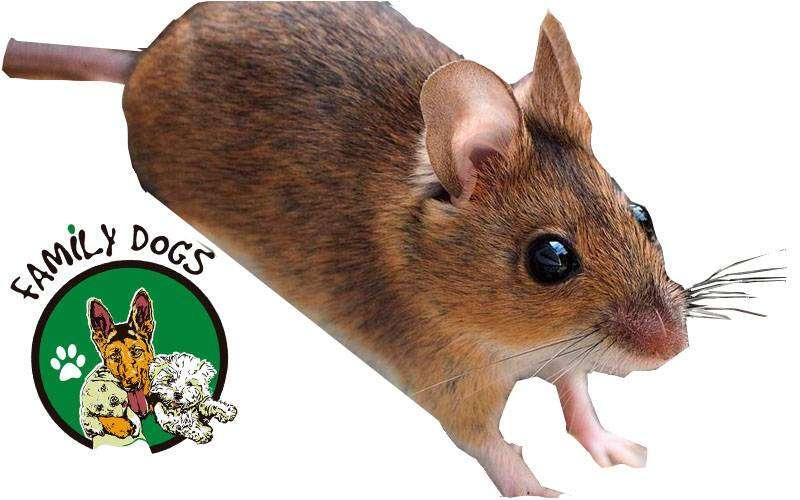 ratones mexicanos, raton mascota, raton 0