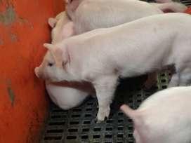 Gran oportunidad!!! venta de lechones y cerdos
