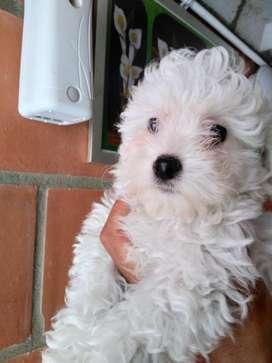Cachorras French Poodle Mini