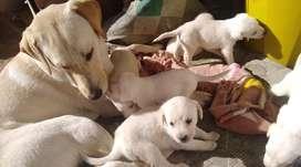 Cachorros raza labrador