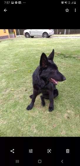 Venpermuta cachorros pastor alemán pelolargo