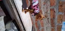 Chihuahua machito