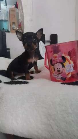 :)bella mini Pincher:)