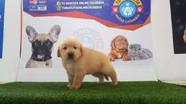 Gama genial Golden Retriver Nobles