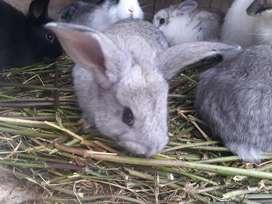 Se vende conejos pequeños