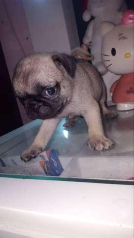 Hermosa camada de cachorros Pug en venta entrego con su garantia de raza vacundos y de 45 dias de edad