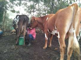 Se vende toro