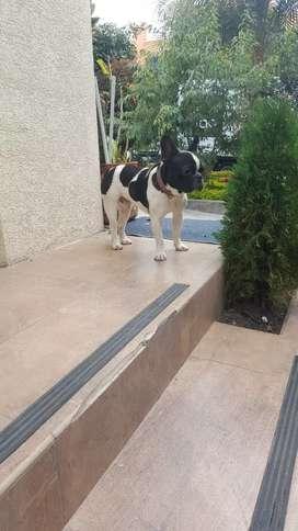 Vendo hermoso macho bulldog frances