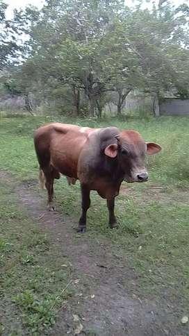 Toro cimentan de 26 meses