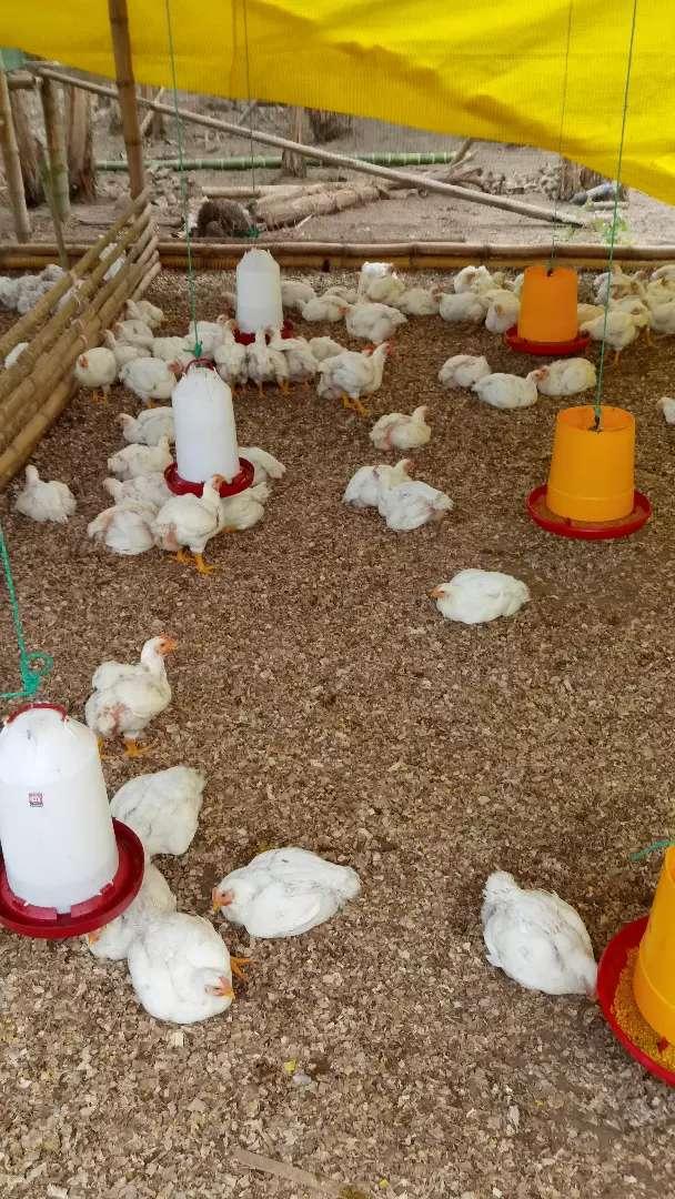 Pollos broiler. 0