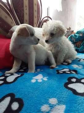 Lindo perrito fresth pul y una perrita Chiguagua