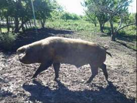 Vendo cerdo padrillo en La Plata
