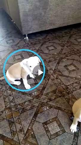 Cachorros de linea